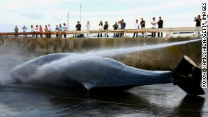 Japanese fishermen hose down a Baird\'s Beaked whale at Wada Port on June 21, 2007 in Chiba, Japan.