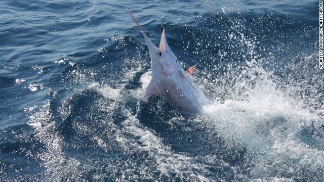 A rare 300-pound marlin was caught and released off the coast of Costa Rica during a fishing trip run by Maverick Yachts and Maverick Sportfishing Tours on March 11. It's being called the first-ever recorded albino blue marlin, according to the company's Facebook page. It's unclear whether the fish was albino or leucistic, retaining some essence of its normal pigmentation.