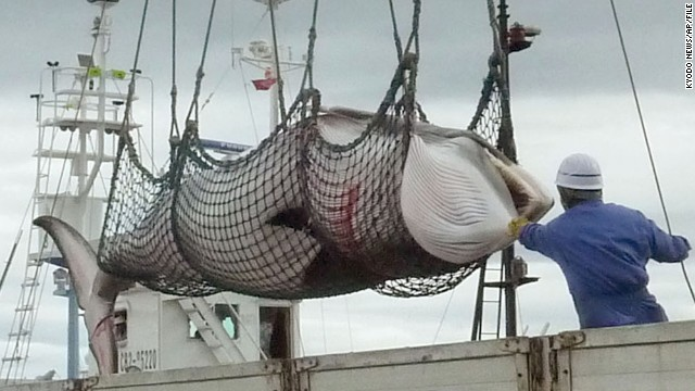 This file photo shows a minke whale being unloaded at a port during a whale hunt for scientific purposes in Kushiro, Hokkaido.