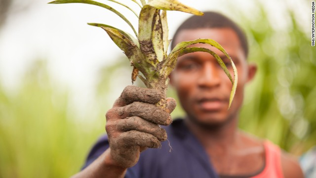Pineapple program fights traffickers in Sierra Leone