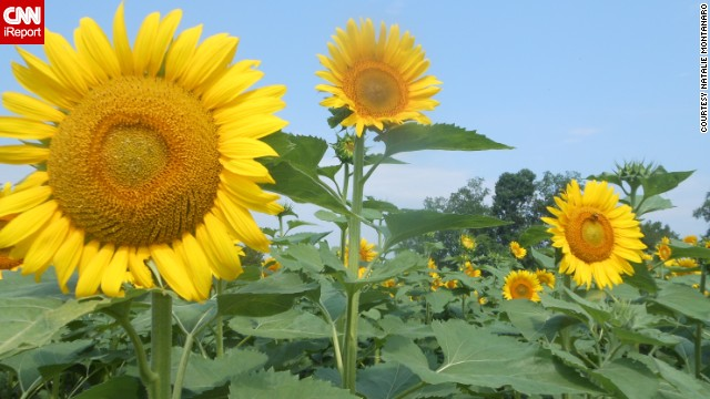 These sunflowers are making wishes come true at a fundraiser on Buttonwood Farm in Griswold, Connecticut, for the Make-A-Wish Foundation.