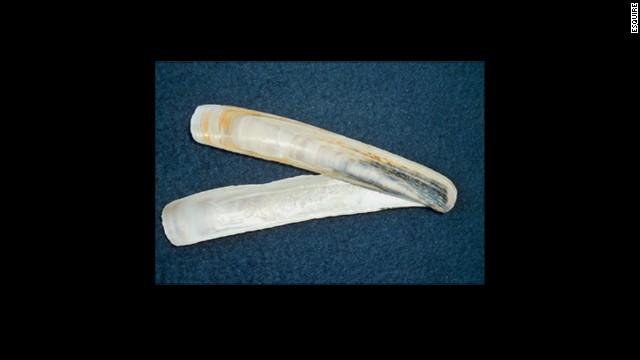 The shell razor