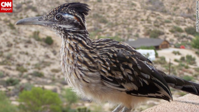 "iReporter Wanda Gemson says that roadrunners often hang around outside her home in Yucca Valley, California. ""This little one actually hangs out a bit sitting on the wall or rock nearby the patio,"" she said. The roadrunners she's encountered are actually ""quite social."""