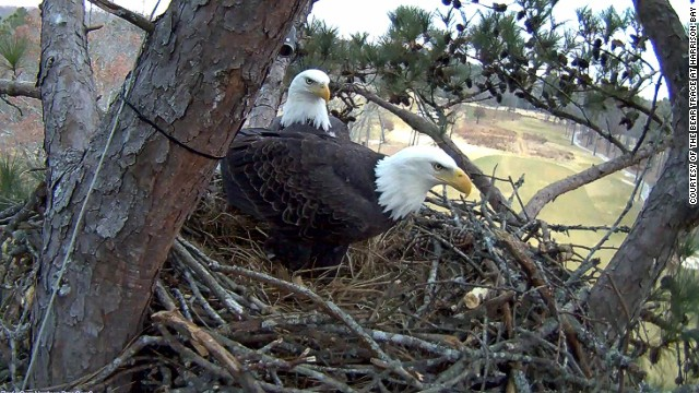This pair of bald eagles are a familiar sight at the Bear Trace golf course at Harrison Bay in Tennessee. They arrived at the end of 2010 and since 2012 have been the stars of the club's Eagle Cam. Two eaglets hatched in March and can be <a href='http://harrisonbayeaglecam.org/' target='_blank'>watched online</a> round the clock.