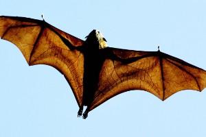Zorro volador de Rodrígues