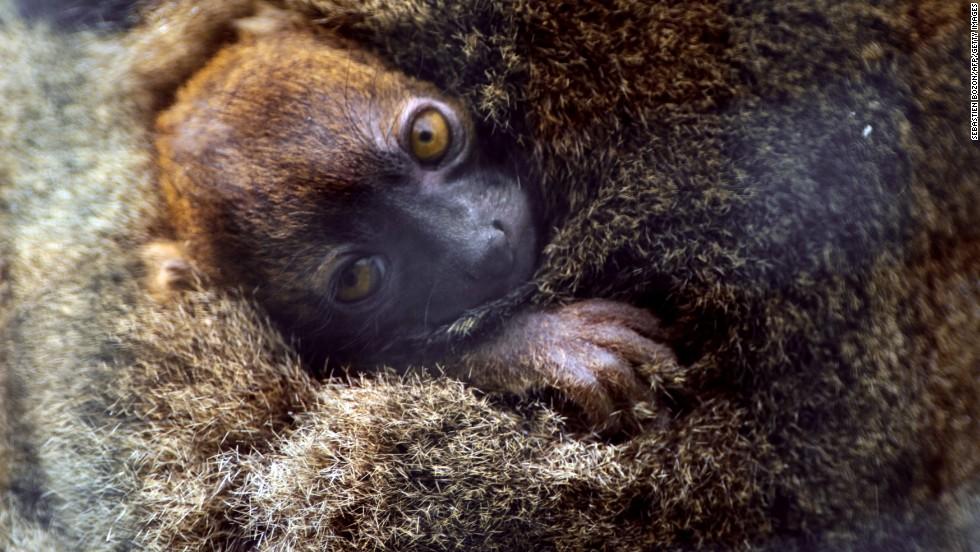 Lémur de bambú