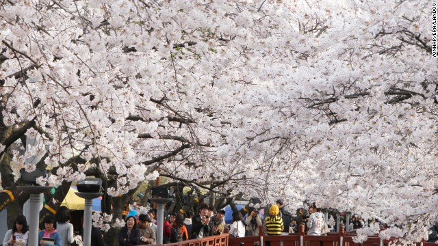 Cherry blossoms usher in spring in Jinhae in Changwon City, South Korea. The city's cherry blossom festival is South Korea's largest.