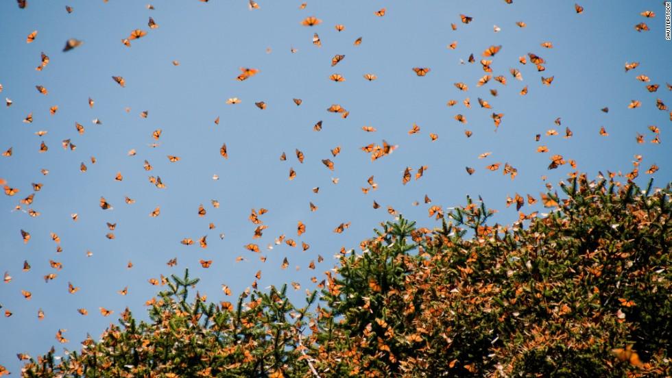 Aleteo de millones de mariposas