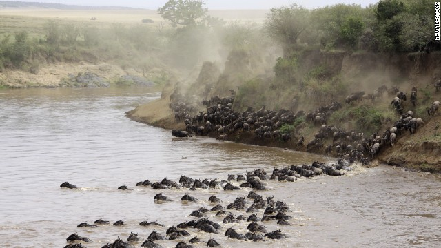 Wildebeest cross the Masai Mara River in Kenya. More than a million travel between Tanzania and Kenya each year during the Great Migration in search of food, water and breeding grounds.