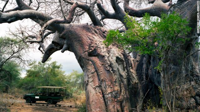 Pafuri baobab tree. Up to 2,000 years old. Kruger Game Preserve, South Africa.