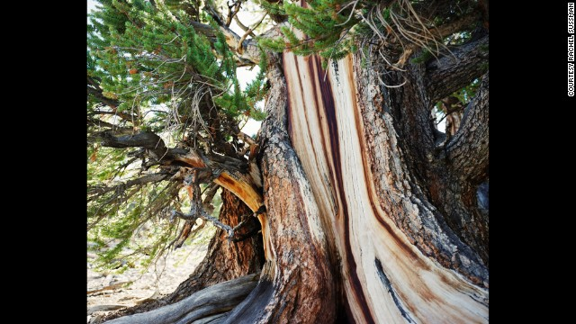 Bristlecone pine. Uo to 5,000 years old. White Mountains, California.