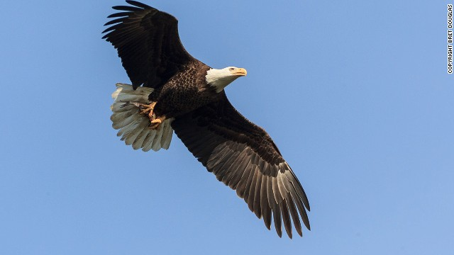 Bald eagle numbers declined during from the 1950s to the mid-1970s due to the use of a pesticide called DDT which affected the birds' ability to reproduce. <a href='http://www.epa.gov/pesticides/factsheets/chemicals/ddt-brief-history-status.htm' target='_blank'>DDT was banned in the U.S. in the early 1970s</a> and since, populations have recovered.