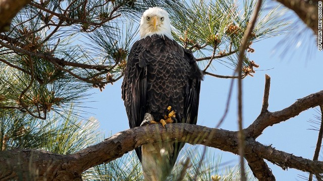 The bald eagle has a distinctive plumage -- white head and tail -- with a yellow beak and feet. As of 2012, there were more than 175 nesting pairs of bald eagles in Tennessee, according to Tennessee's Watchable Wildlife.