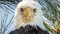 This eagle is king of the birdies