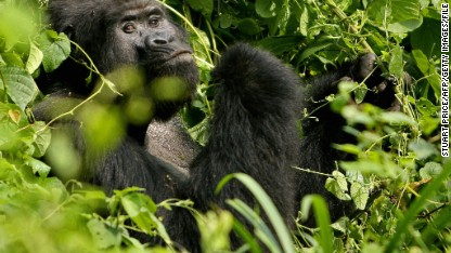 Are human viruses killing last gorillas?