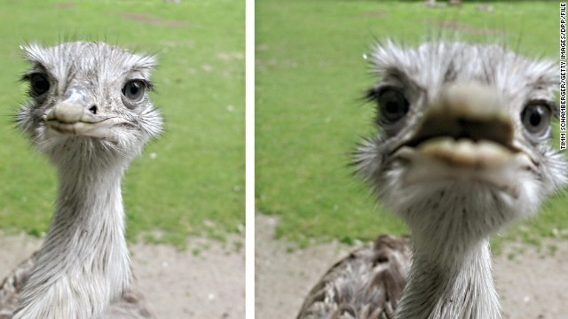 UK Animal welfare charity the RSPCA has warned that rheas, which have sharp claws and beaks, can be dangerous if they feel threatened.