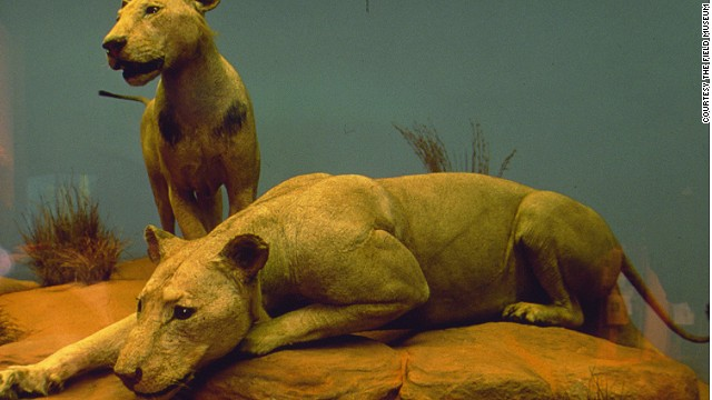 If the infamous Tsavo lions at Chicago's Field Museum seem a little worse for wear, it might be because they spent 25 years as rugs after being hunted down in 1898.