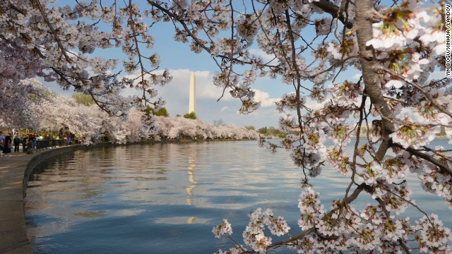 The Washington Monument is seen in April through cherry blossoms on the edge of the Tidal Basin.