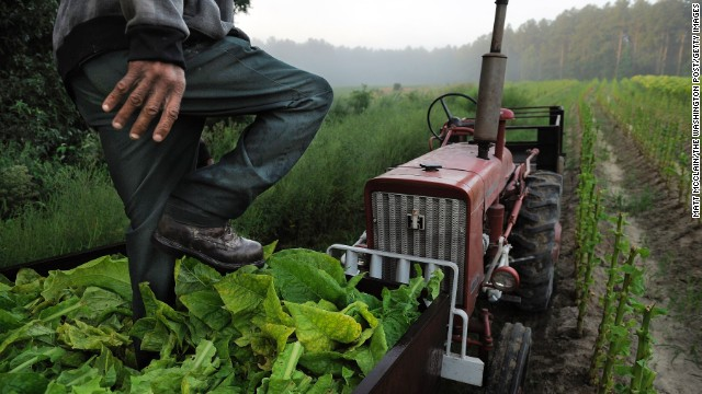Farmer steps on tobacco in a cart in a field on Friday August 30, 2013 in Warfield, VA.
