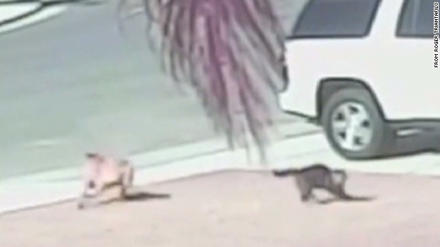 Heroic cat saves boy from dog attack