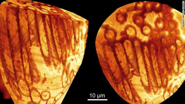 Here is what really old shrimp sperm looks like after 17 million years. Good times.