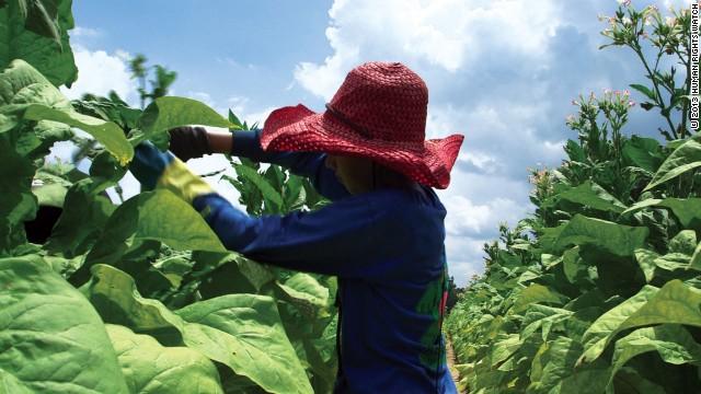 Miles de niños que trabajan en plantaciones de tabaco en EE.UU. intoxicados por nicotina