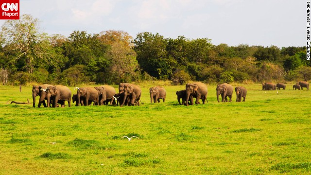 Sri Lanka's <a href='http://203.143.23.34/library/Np_minneriya.html' target='_blank'>Minneriya National Park</a> was originally a wildlife sanctuary. During the dry season, elephants are attracted to the park's grass fields. Besides elephants, which <a href='http://ireport.cnn.com/docs/DOC-1127832'>Geshan Weerasinghe</a> says are the biggest highlights of the park, visitors can also see deers, bears, peacocks, birds and buffaloes.