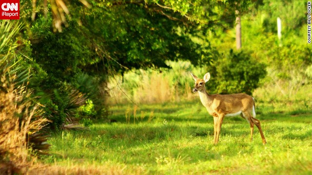Billy Ocker photographed this lone deer bathed in sunlight at St. Sebastian River Preserve State Park in Fellsmere, Florida.