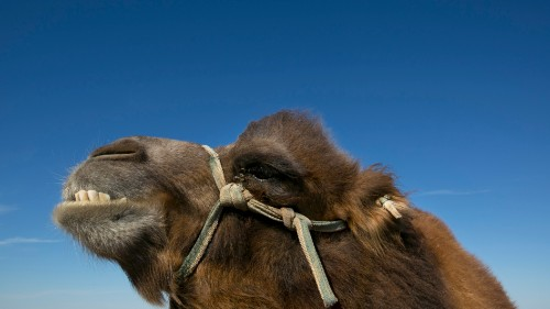 The two-humped Bactrian camel is a native of the harsh Gobi Desert.