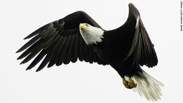 A bald eagle flies over Prince William Sound near Valdez, Alaska. In 1989, the Exxon Valdez oil spill decimated local wildlife populations.