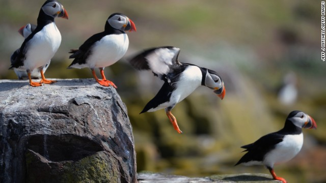Puffins return to their summer breeding grounds on the Farne Islands in England.
