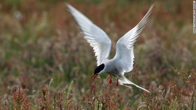 An Arctic tern returns to its nest in Inner Farne, England.