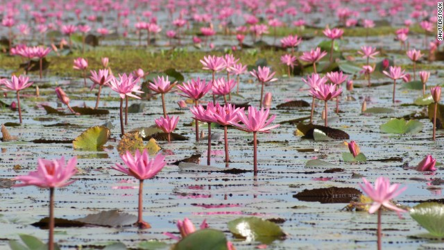 Thousands of red lotus flowers sprout annually in October and completely transform the surface of Lake Nong Harn, Thailand.