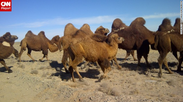 <a href='http://ireport.cnn.com/docs/DOC-889113'>Camels</a> journey through Mongolia's Gobi Desert. This image was taken with a BlackBerry.