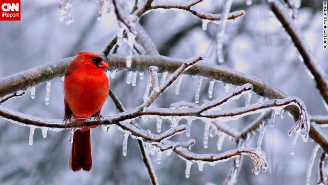 A <a href='http://ireport.cnn.com/docs/DOC-1067282'>cardinal</a> perches on an icy branch in Chantilly, Virginia.