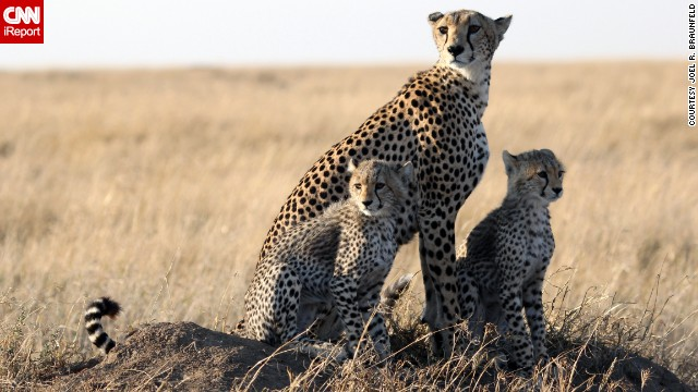 This <a href='http://ireport.cnn.com/docs/DOC-909942'>cheetah family</a> in Tanzania is practically posing for the camera.