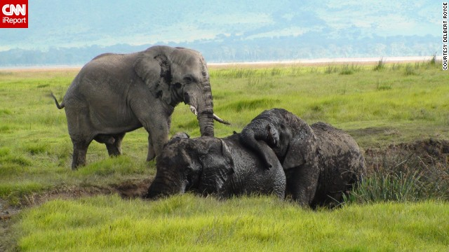 These <a href='http://ireport.cnn.com/docs/DOC-543804'>elephants</a> look to be enjoying their mud pit in Tanzania's Ngorongoro Crater.