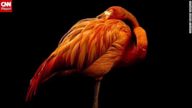 Shot in a studio? Nope, this <a href='http://ireport.cnn.com/docs/DOC-1122035'>flamingo</a> just happened to pose against a black background for a patient photographer at a sanctuary in New Jersey.