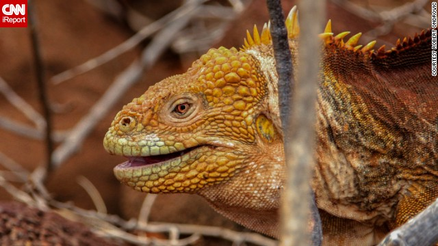 The Galapagos Islands are home to many unusual and rare animals, including the otherworldly <a href='http://ireport.cnn.com/docs/DOC-1122385'>land iguana</a>.