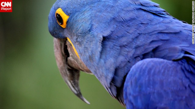 This brilliant blue <a href='http://ireport.cnn.com/docs/DOC-869204'>hyacinth macaw</a> lives at Marquesa Forest Park's aviary in San Juan, Puerto Rico.