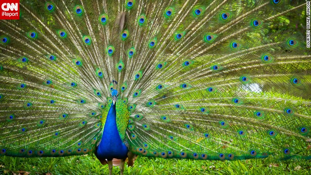 An <a href='http://ireport.cnn.com/docs/DOC-967907'>Indian peafowl</a>, commonly known as the peacock, faces the camera in Cotui, Dominican Republic.