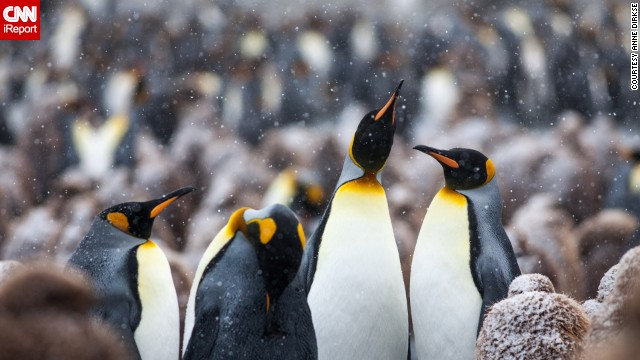 <a href='http://ireport.cnn.com/docs/DOC-1111663'>King penguins</a> frolic on South Georgia Island between Argentina and Antarctica.
