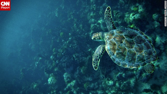 A <a href='http://ireport.cnn.com/docs/DOC-908815'>sea turtle</a> explores about a mile offshore of Providenciales, Turks and Caicos.