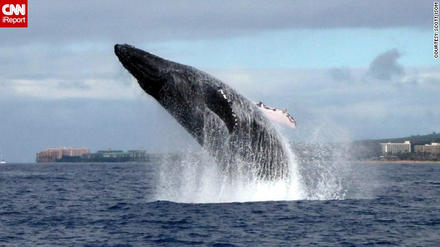 A <a href='http://ireport.cnn.com/docs/DOC-1064800'>humpback whale</a> makes a massive splash off the coast of Maui, Hawaii.
