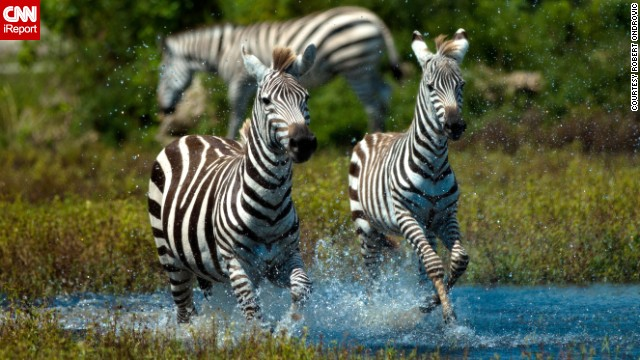 <a href='http://ireport.cnn.com/docs/DOC-1121807'>Zebras</a> gallop through the water on a hot day at a reserve in Palm Beach, Florida.
