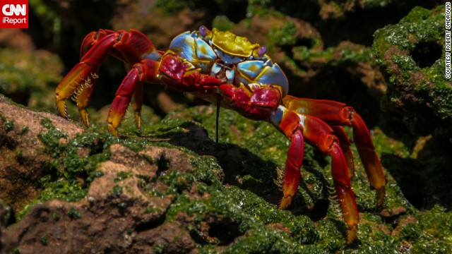 "This colorful Galapagos <a href='http://ireport.cnn.com/docs/DOC-1121472'>crab</a> is called a ""Sally Lightfoot"" or ""red rock"" crab."
