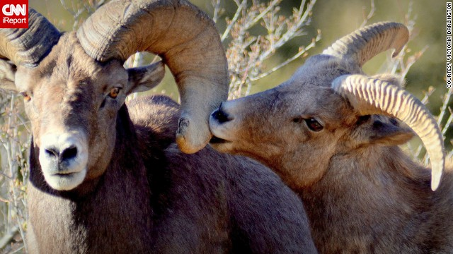 Two <a href='http://ireport.cnn.com/docs/DOC-1121362'>bighorn sheep</a> share a tender moment in Georgetown, Colorado.