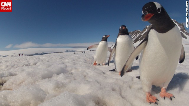A curious <a href='http://ireport.cnn.com/docs/DOC-905295'>penguin</a> stares right into the camera in Antarctica.