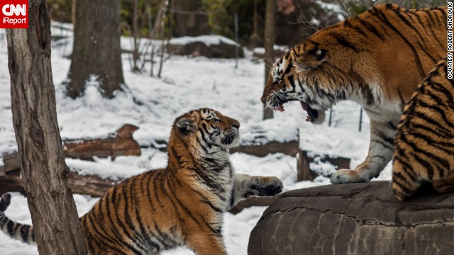 A young <a href='http://ireport.cnn.com/docs/DOC-1121353'>tiger</a> receives a stern talking-to in New York's Bronx Zoo.