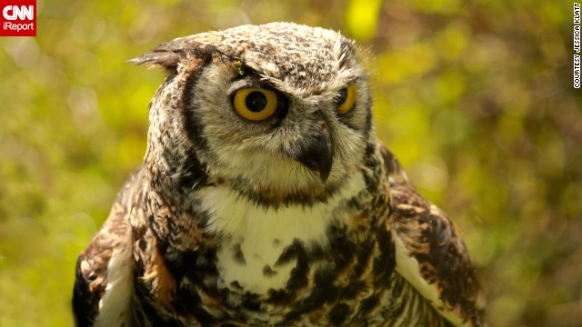 This <a href='http://ireport.cnn.com/docs/DOC-958259'>owl</a>, named Spock, lives at a Duncan, British Columbia, conservation center.